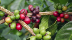 Stock Video Footage of Ripening coffee berries