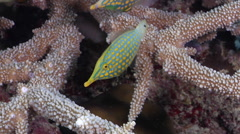 Beaked leatherjacket swimming on hard coral microhabitat, Oxymonacanthus Stock Footage