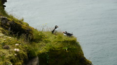 Puffins on a rock overlooking the sea Stock Footage