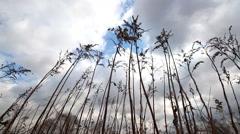 Wind shakes dry burdock Stock Footage