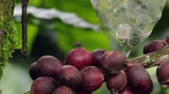 Flower and fruit of a coffee bush Stock Footage