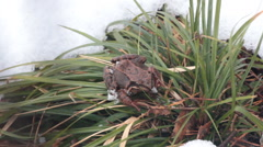 Frog had just awakened from winter hibernation Stock Footage