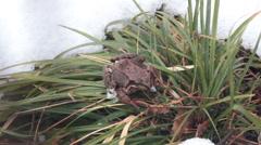 Frog had just awakened from winter hibernation Stock Footage