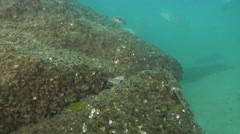 Swimmer crab on river mouth rock wall, Charybdis sp., HD, UP31415 Stock Footage