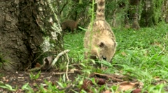 Candid shot of wild animals in natural jungle habitat - stock footage