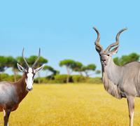 Blesbok antelopes and Greater Kudu - stock photo