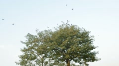 Crows flying away from a tree Stock Footage