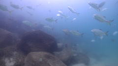 Tea-leaf trevally swimming on river mouth rock wall, Caranx papuensis, HD, Stock Footage