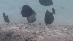 Juvenile Ringtail surgeonfish feeding on river mouth rock wall, Acanthurus Stock Footage