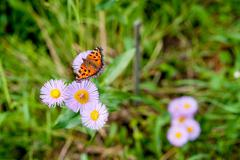 butterfly Aglais urticae L. - stock photo