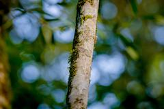 Closeup of brown colored skinny tree, sangres de drago, medicinal plant branch - stock photo