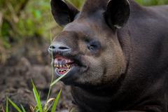 Closeup beautiful brown tapir, biggest mammal of the Amazon rainforest Stock Photos