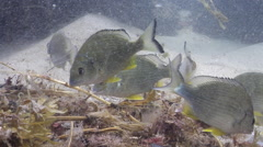 Yellow-finned bream feeding on mixed algae and seagrass muck on sand, - stock footage