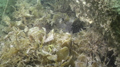 Adults and juveniles Wide-body pipefish hiding on mixed algae and seagrass muck Stock Footage