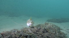 Striped pufferfish feeding on mixed algae and seagrass muck on sand, Arothron - stock footage