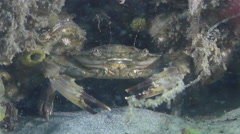 Two spot swimmer crab hiding on mixed algae and seagrass muck on sand, Thalamita Stock Footage