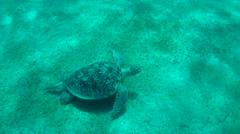 green sea turtle(Chelonia mydas) - stock footage
