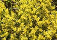 Fresh Hypericum perforatum flowers Stock Photos