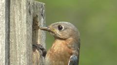 Female Eastern Bluebird (Sialia sialis) Stock Footage