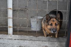 German shepherd sticking head through fence and looking sad at camera Stock Photos