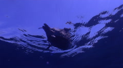 Muttonbird swimming on water surface, Puffinus tenuirostris, HD, UP31666 Stock Footage