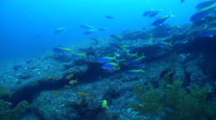 Bushy black coral on rocky reef, Antipathes sp., HD, UP31671 Stock Footage