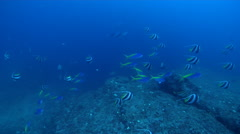 Ocean scenery tracks one school, then another, on rocky reef, HD, UP31674 Stock Footage