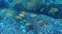 Scalefin anthias fleeing and schooling on rocky reef, Pseudanthias squamipinnis, Stock Footage
