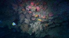 Striped anthias swimming in overhang, Pseudanthias fasciatus, HD, UP31681 - stock footage