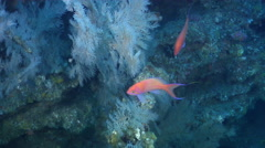 Striped anthias swimming on rocky reef, Pseudanthias fasciatus, HD, UP31688 Stock Footage