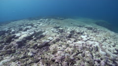 Yellow-spotted sweetlips territorial on shallow coral reef, Plectorhinchus Stock Footage