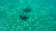 Two green sea turtle(Chelonia mydas) Stock Footage