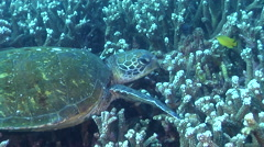 Green turtle on coral reef, Chelonia mydas, HD, UP31703 - stock footage