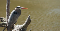 Great blue heron resting on branch over creek, blinking eyes. - stock footage