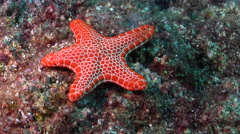 Vermillion seastar walking on rocky reef, Pentagonaster dubeni, HD, UP31721 Stock Footage