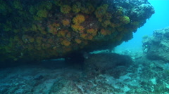 Star pufferfish hiding in overhang, Arothron stellatus, HD, UP31726 Stock Footage