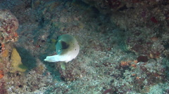 Black-spotted pufferfish swimming on rocky reef, Arothron nigropunctatus, HD, Stock Footage
