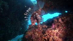 Common lionfish hovering in cavern, Pterois volitans, HD, UP31736 Stock Footage