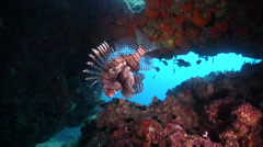 Common lionfish hovering in cavern, Pterois volitans, HD, UP31737 Stock Footage