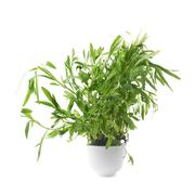 Tarragon perennial aromatic culinary herb - stock photo