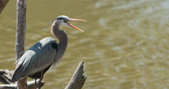 Great blue heron resting on branch over creek, yawning. Stock Footage