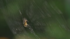 SPIDER ON SWAYING WEB CLOSEUP - stock footage