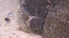 Juvenile Barred fortesque on river mouth rock wall, Centropogon australis, HD, Stock Footage