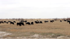 Herd of cattle  grazing in forest-steppe zone of Kazakhstan Stock Footage