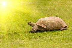 giant tortoise resting in sun light - stock photo