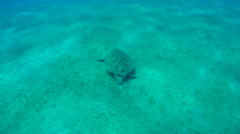 Green sea turtle (Chelonia mydas) Stock Footage