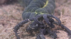 Feather-mouth sea cucumber feeding, Opheodesoma serpentina, HD, UP31802 Stock Footage