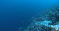 Reef manta ray swimming on coral reef, Manta alfredi, 4K UltraHD, UP36083 Stock Footage