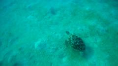 Green sea turtle(Chelonia mydas) Stock Footage