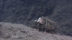 Ferrous urchin walking on sand and sea weed, Salmacis belli, HD, UP31840 Stock Footage